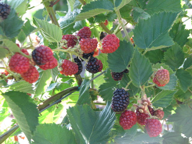 Blackberry Picking: A Seamus Heaney Poem with Candor, Virtue, and Reality